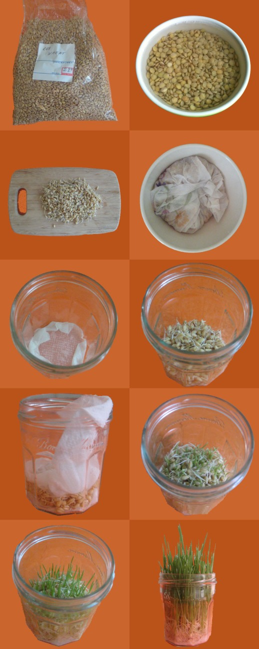 PIctorial DIY Info Graphic guide to sprouting and growing sabzeh (green) with wheat and lentils. Tutorial for Earth Day and Norooz (Persian New Year)