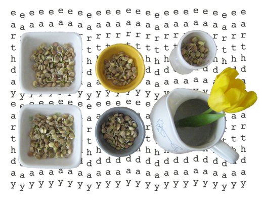 bowls of lentil sprouts to grow sabzeh (for Norooz or Earth day) and a yellow tulip in a white cup - Persian food blog