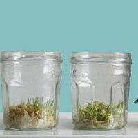 Grass is Sabz!  Sabzeh is Green! Or:  How to Grow Sabzeh (for NoRooz)