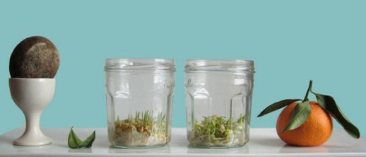 sprout wheat sabzeh in mason jar for Norooz Easter guide tutorial