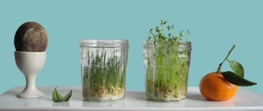 sabzeh wheatgrass sprouting in mason jar for Norooz Easter guide tutorial pictorial easy