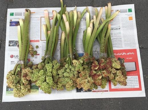 rhubarb blossom newspaper Tehran Iran rivas