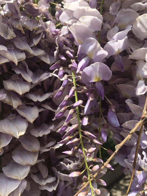 Wisteria purple flower spring beautiful tehran Iran
