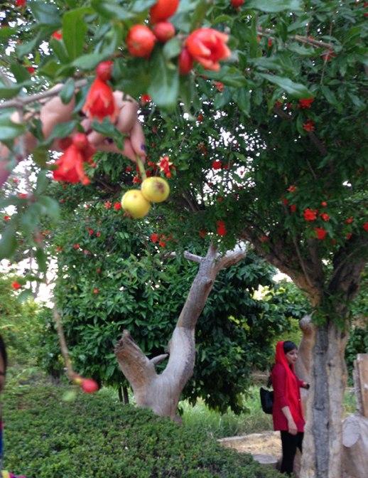 Pomegranate blossoms Persian Garden Shiraz Iran