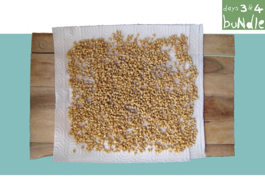 05-bundle-sabzeh-wheatgrass-grow-how-to-lentil-wheat-ghandom-norooz-easter-tutorial-guide