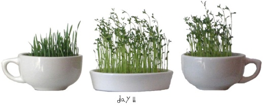 87sabzeh-wheatgrass-grow-how-to-lentil-wheat-ghandom-norooz-easter-tutorial-guide