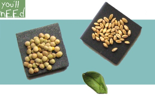 90-B-ingredients-sabzeh-wheatgrass-grow-how-to-lentil-wheat-ghandom-norooz-easter-tutorial-guide