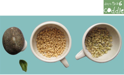 Coddle-sabzeh-wheatgrass-grow-how-to-lentil-wheat-ghandom-norooz-easter-tutorial-guide