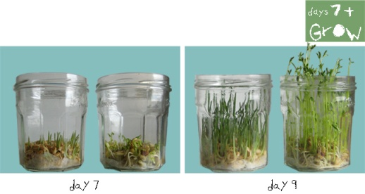 Grow-C-sabzeh-wheatgrass-grow-how-to-lentil-wheat-ghandom-norooz-easter-tutorial-guide copy copy