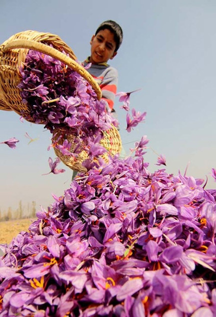 Saffron is harvested.  Khorasan | Iran