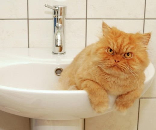 How to Groom a Persian Cat