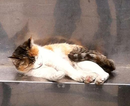 Pishi-Persian-cat-Tehran-Park-Iran-7