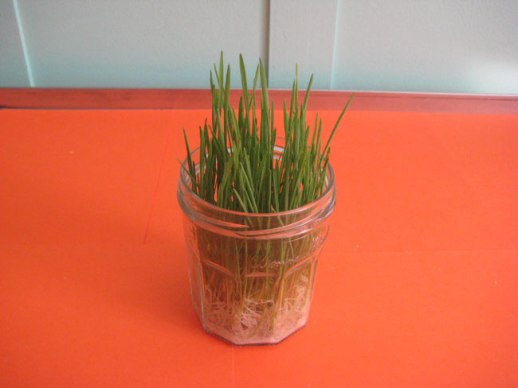 Green grass lentil sprouts (sabzeh) in glass jar on orange background