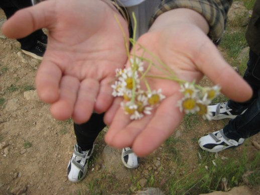 freshly picked camomile flowers in the palms of hand - mountains of Kermanshah, Iran, taghbostan, 2014