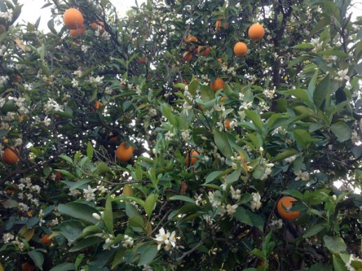 Narenj (sour orange) tree in Los Angeles Garden