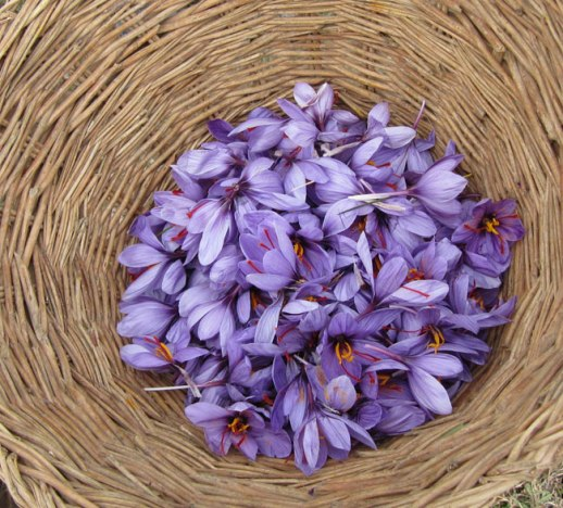 basket of purple saffron crocus flowers from Kashmir | @FigandQuince (Persian food culture blog)